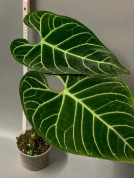 Anthurium regale 'Narrow type