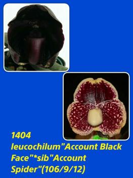 Paphiopedilum leucochilum Account Black Face x Account Spider