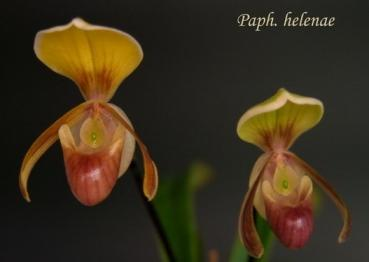 Paphiopedilum helenae `Little Hanoi x self