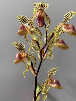Paphiopedilum supardii x sib ( Golden Bow x Dragon Dance )