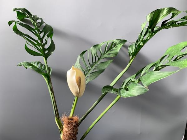 Monstera adansonii Wild