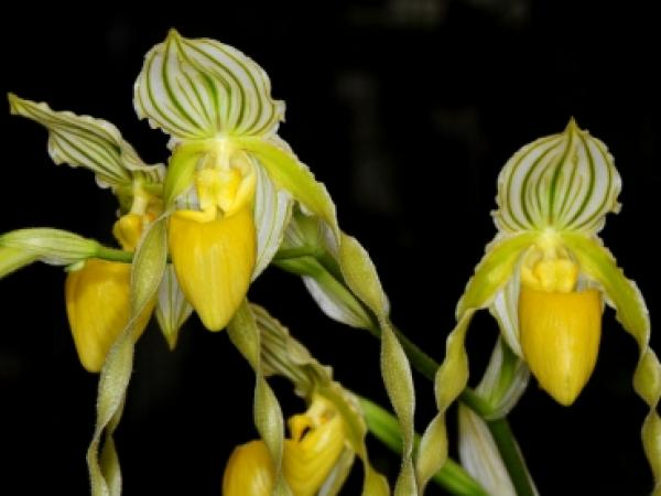 Paphiopedilum philippinense alba Angle Hair plants